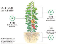 「肥料の三要素」チッ素、リン酸、カリの働きは?