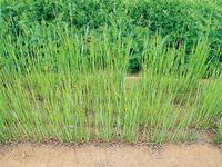 緑肥の力で菜園の地力をアップ!