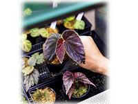 今、熱い植物「原種ベゴニア」