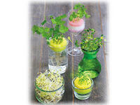 水耕栽培で香味野菜&モヤシ