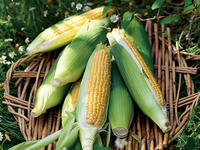 トウモロコシ栽培は1品種に絞って