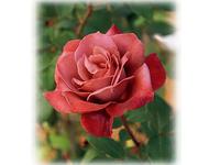 複雑な花色が魅力! 日本生まれのバラ 'ブラック・ティー'