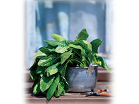 寒さで甘みを増すホウレンソウ 栽培のポイント