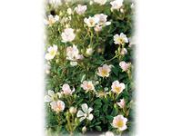 世界平和の願いをその名に込めて——日本生まれのバラ 'のぞみ'