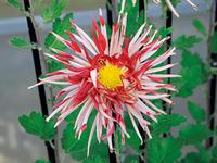 江戸の趣味人が花の変化に「粋」を見出したキク