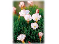南アフリカの植物を鉢植えで育てる