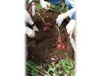 オーガニックな肥料 サツマイモとホウレンソウには何を使う?