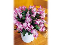 令和に咲く!昭和の名花 シャコバサボテンの魅力を再確認